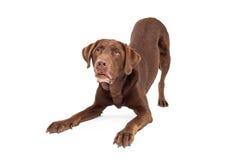 Schokoladen-Labrador retriever-Hund in Downdog-Position Lizenzfreies Stockbild