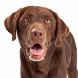 Schokoladen-Labrador retriever-Hundekopf-Schuss Stockfotografie