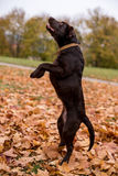Schokoladen-Labrador retriever-Hundespielen Stockfotos