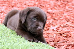 Schokoladen-Labrador retriever-Welpe draußen Lizenzfreies Stockfoto