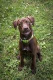 Schokoladen-Labrador-Welpe Stockbild