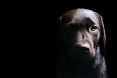 Schokoladen-Labrador-Welpen-Seiten-Lit stockbild