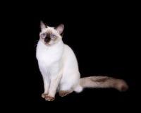 Schokoladen-Punktbalinese-Katze Stockfotografie
