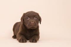 Schokoladenbrauner labrador retriever-Welpe, der auf dem Boden auf einem beige Hintergrund liegt Stockfotografie