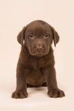 Schokoladenbrauner labrador retriever-Welpe, der auf einem beige Hintergrund sitzt Stockbild