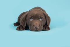 Schokoladenbrauner labrador retriever-Welpe, der auf einem blauen Hintergrund liegt Stockbild