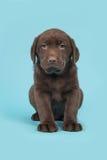 Schokoladenbrauner labrador retriever-Welpe, der auf einem blauen Hintergrund sitzt Stockfoto