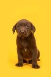 Schokoladenbrauner labrador retriever-Welpe, der auf einem gelben Hintergrund sitzt Stockbilder