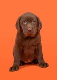 Schokoladenbrauner labrador retriever-Welpe, der auf einem orange Hintergrund sitzt Lizenzfreies Stockbild