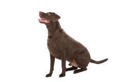 Schokoladenlabrador-Apportierhund Lizenzfreie Stockbilder
