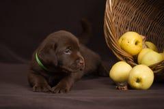 Schokoladenlabrador-Welpe, der auf einem Braun liegt Stockfotografie