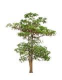 Scholaris Alstonia (Apocynaceae) Στοκ φωτογραφία με δικαίωμα ελεύθερης χρήσης