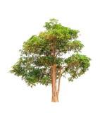 Scholaris Alstonia (Apocynaceae) Στοκ Εικόνες