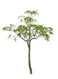 Scholaris d'Alstonia (Apocynaceae), généralement appelés le tre de Blackboard images libres de droits