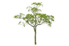 Scholaris d'Alstonia (Apocynaceae), généralement appelés le tre de Blackboard photographie stock libre de droits