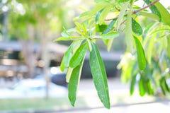 Scholaris d'Alstonia, fond naturel des feuilles vertes photo stock