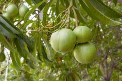 Scholaris d'Alstonia ou arbre d'apocynaceae image libre de droits