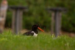 Scholekster het verbergen in het groene gras Stock Fotografie