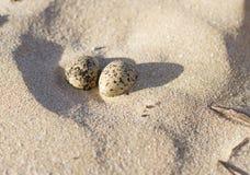 Scholekstereieren op zandig strand Stock Afbeelding
