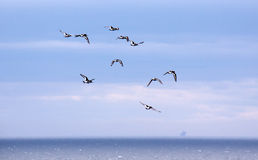 Scholeksters die, Caithness, Noord-Schotland vliegen royalty-vrije stock fotografie