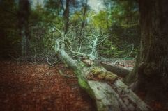 Scholes wood. Fallen tree scholes stock image