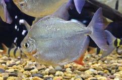Schomburgkiivissen van Myleus in het aquarium Royalty-vrije Stock Afbeeldingen