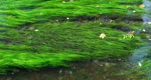 Schone irrigatiekreek, groene aquatische installaties, aquatische installaties, aquatische installaties, Algenalgen, stock video
