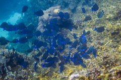 School of Acanthurus Coeruleus Stock Image