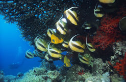 School of Angelfish on reef Royalty Free Stock Photos
