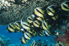 School of Angelfish on reef Stock Photo
