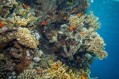 School of anthias - sea goldie Stock Image
