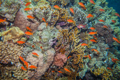 School of anthias - sea goldie. At a beautiful red sea coral reef Royalty Free Stock Photography