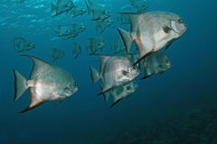 School of Atlantic Spadefish - Cozume Stock Photography