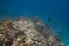 School of baby fish in Similan island Stock Photos