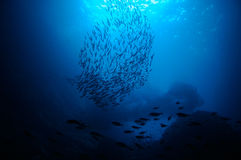 School of bait fish Stock Image