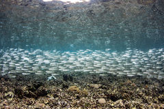 School of Bait Fish Royalty Free Stock Photos