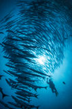 School of barracuda Stock Photo
