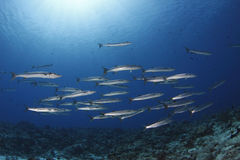 School of Barracuda Royalty Free Stock Image