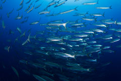School of barracudas. In the red sea stock photo