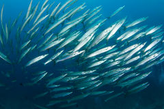 School of barracudas. A big school of barracudas in deep tropical waters stock photos