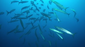 School of barracudas in of blue water swim laps. stock footage