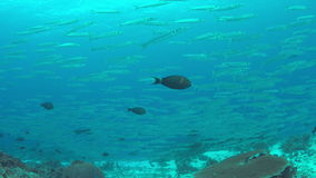 School of Barracudas on a coral reef. 4k stock video footage