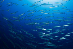 School of barracudas and diver in the background stock image