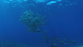 School of Barracudas and Trevallies Royalty Free Stock Image