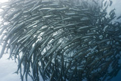 School of barracudas underwate Royalty Free Stock Photo