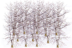 School of barren tree on a white background Royalty Free Stock Image
