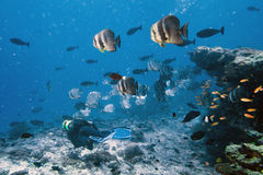 School of bat fish with diver Stock Image