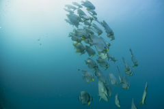 A school of bat fish underwater. In Maldives Royalty Free Stock Photo