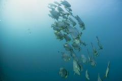 A school of bat fish underwater Royalty Free Stock Photo