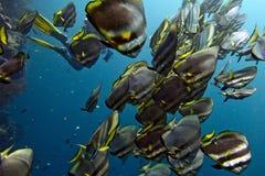 School of bat fish underwater. A school of bat fish underwater in Malesya Royalty Free Stock Image